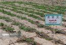 کشت گیاهان دارویی کم آببر در پیچ و خم بوروکراسی اداری
